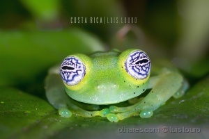 Macro/Ghost Glass Frog