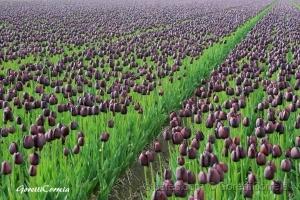 Paisagem Natural/Tulipas...e mais tulipas...