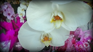 Macro/Órquídeas para presentear...MCris