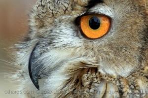 Animais/Olhar de Mocho