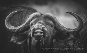 /Búfalo africano