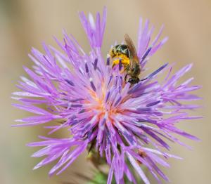 Macro/Uma abelha numa flor.......