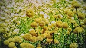 /Flores Aromáticas