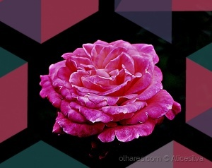 /Pink Rose for you..