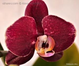 /Phalaenopsis