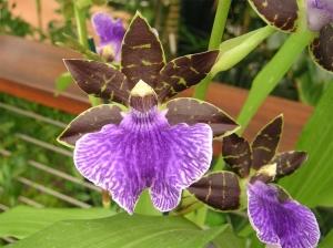 Macro/Orquidea: Zygo