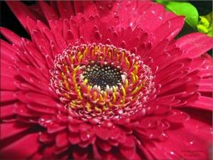 /Flor Vermelha