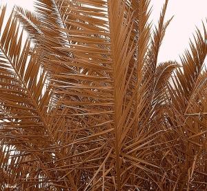 /Folhas de Palmeira