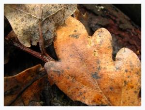 /Quercus