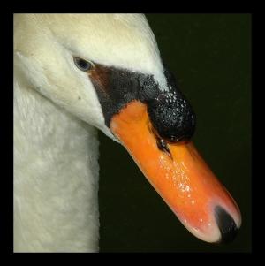 /Cisne