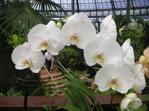"""/""""parecida com borboleta"""" - Phalaenopsis"""