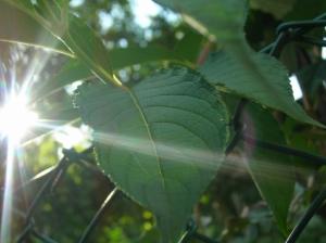 /uma rica folha com um pequeno raio de sol