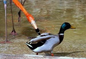 /O pato que foi bicado