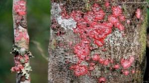 Outros/Líquen vermelho 1