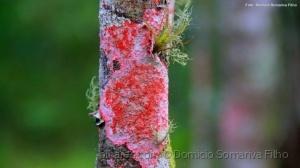 Outros/Líquen vermelho 2
