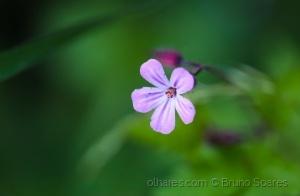 /Geranium robertianum