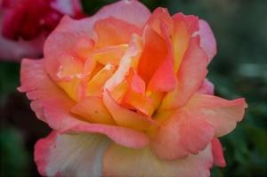 /As rosa são flores solitárias