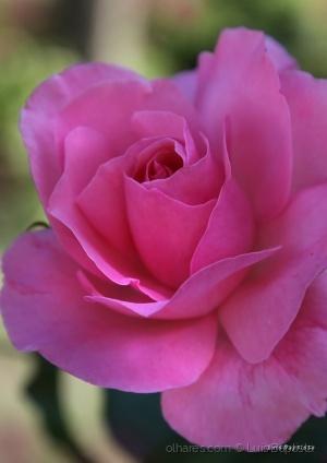 /Pink Rose