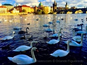 Paisagem Urbana/Swans can be common places too / Os cisnes também