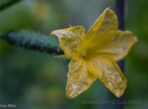 /Flor de Pepino