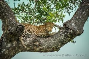 /Leopard perching..