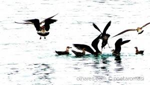 /Gaivotas à pesca do pescado em Sesimbra