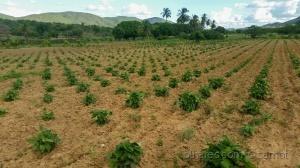 /plantação de feijão