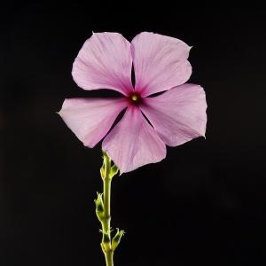 /catharanthus roseus (descrição)