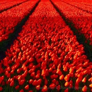 Paisagem Natural/Tulips / Tulipas