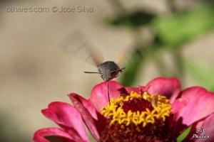 /Borboleta-colibri...