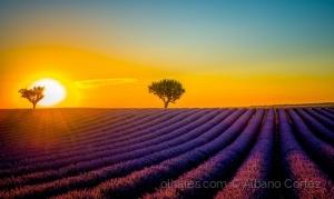 /Lavender fields