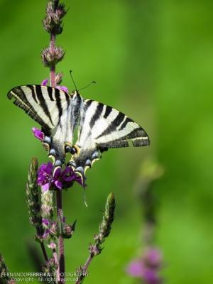 Macro/Borboleta Zebra (Iphiclides feisthamelii)