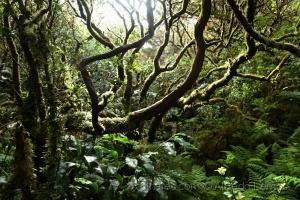 /Floresta Açoreana