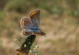 Macro/Borboleta, Polyommatus icarus