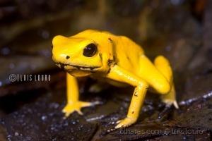Macro/Golden poison frog