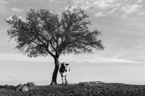/paisagem com vaca