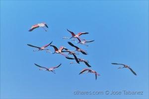 /Flamingos -  Phoenicopterus roseu