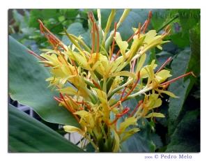 /Flores Amarelas