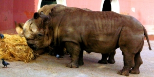 /ZOO Lisboa - Hipopótamos