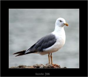 /Pássaros do Mar