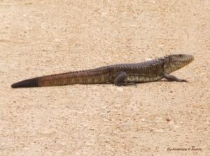 /Víbora do Pantanal