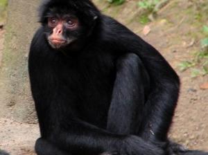 /Macaco em reflexão 3