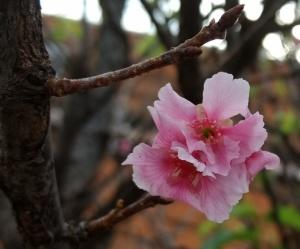 /Flor de Pessegueiro 2