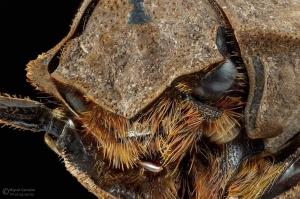 Macro/Coleoptera Trogidae (Hide Beetle)