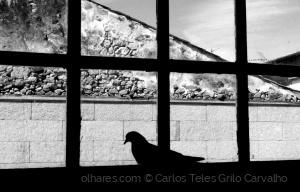 Animais/Um pombo na janela