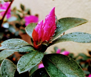 /Azaleia com chuva 1