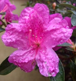 /Azaleia com chuva 2