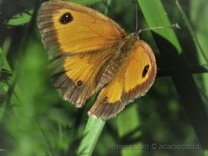 /Mariposas do Barroso -Pyronia tithonus