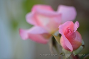 Outros/Botão de rosa
