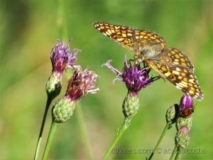 /Melitaea phoebe occitania.